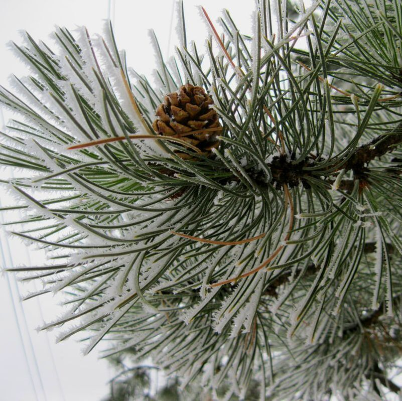 Picture-Winter-Pine-Cone